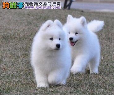 郑州自家狗场繁殖直销萨摩耶幼犬期待您的来电咨询