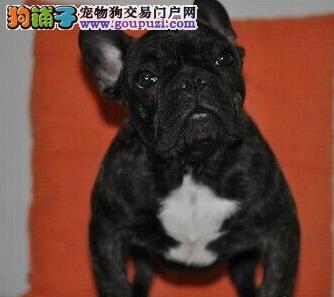 出售高端法国斗牛犬 血统纯正包品质 提供养狗指导
