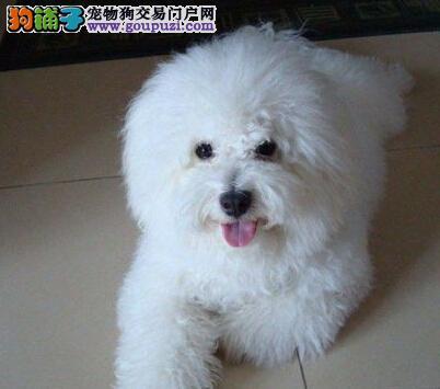 纯种比熊犬专业繁殖场 直销纯白色卷毛可爱比熊犬幼犬