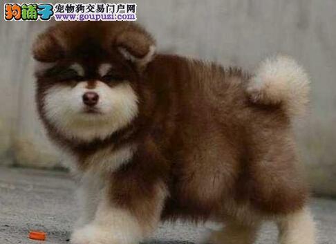 武汉呆萌傻的小胖子阿拉斯加犬幼犬黑棕灰颜色齐全