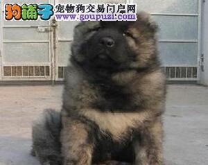 纯种高加索幼犬、品质优良血统纯正、购犬可签协议