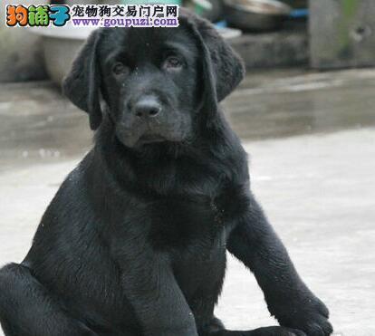 出售拉布拉多导盲犬 拉布拉多幼犬 纯种健康狗狗
