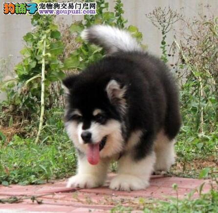 纯种哈尔滨阿拉斯加雪橇犬待售疫苗齐全有血统保证