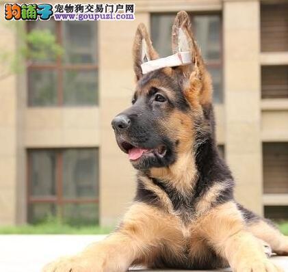 广州养殖场售锤系德国牧羊犬 弓腰黑背超大骨架好品相