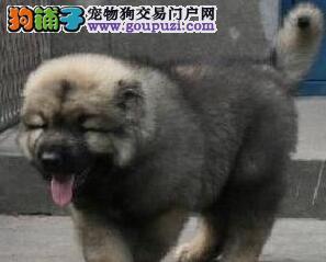 纯正血统南京高加索犬促销价格出售 驱虫疫苗已做好