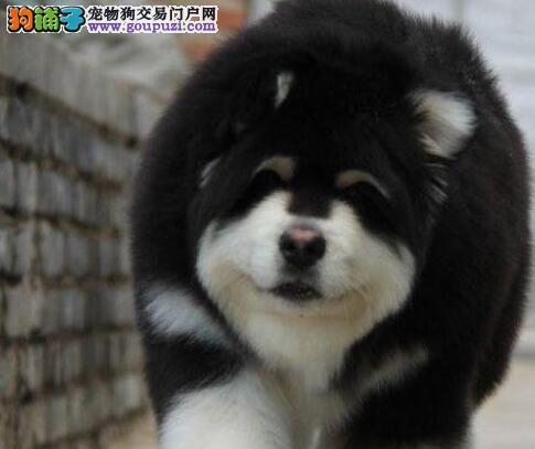 特价 纯种 阿拉斯加犬幼犬,1月包换,可来场