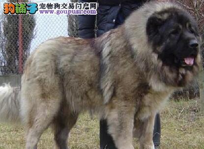 出售熊版武汉高加索犬 可刷卡可送货可签协议假一罚百