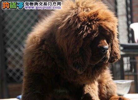 上海出售原生态铁包金藏獒狮子头精心繁殖血统纯正