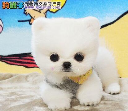 活泼可爱的博美犬宝宝纯种哈多利球体博美幼犬