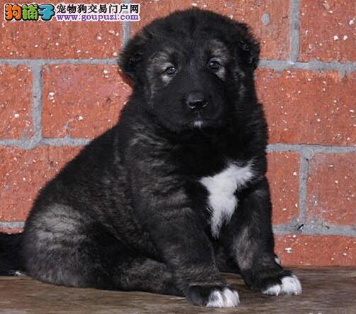 CKU认证犬舍 专业出售极品 高加索幼犬送用品送狗粮