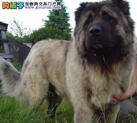 保定专业繁殖出售高大威猛的高加索犬 保证健康纯种