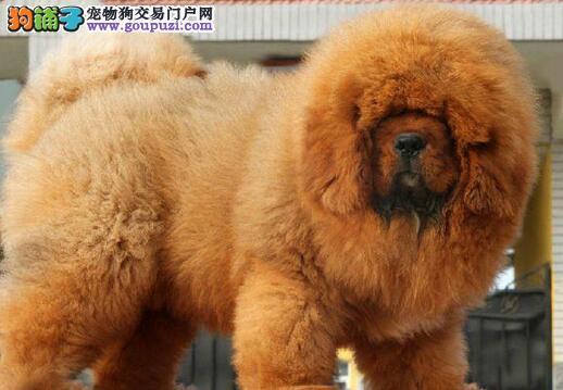 出售纯种藏獒幼犬品相佳,大狮头,大骨架,毛量好