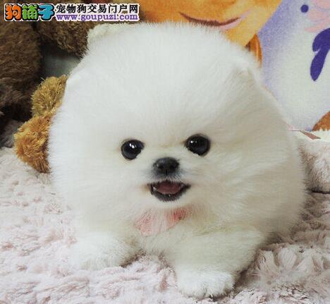 专业繁殖顶级品质博美犬热销中苏州地区购买送用品