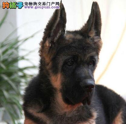 正宗极品广东德国牧羊犬绝对血统纯正优惠出售中狗贩子勿扰