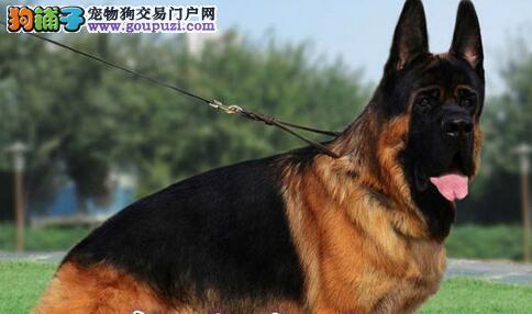 高品质德国牧羊犬幼犬,纯种健康 打了疫苗 上门挑选