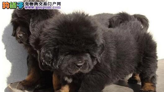 火爆出售血统纯正的上海藏獒我们承诺售后三包