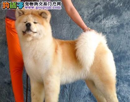 纯种秋田犬 2到3个月幼犬 忠诚可靠伴侣犬
