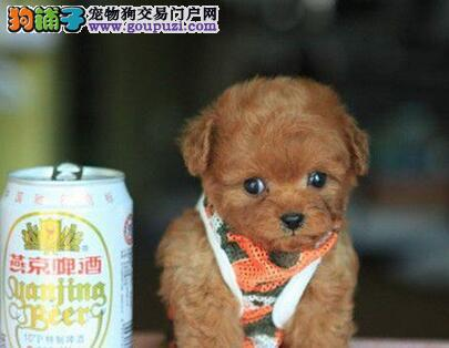 茶杯玩具血系的杭州泰迪犬找爸爸妈妈 可随时上门选择