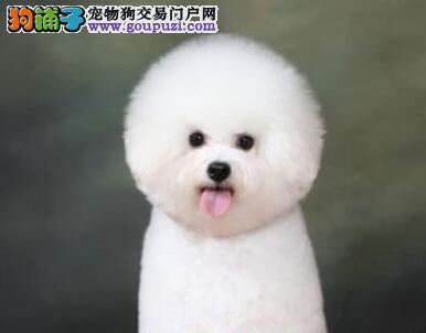 棉花糖版的杭州比熊犬超低价转让 爱狗人士优先选购