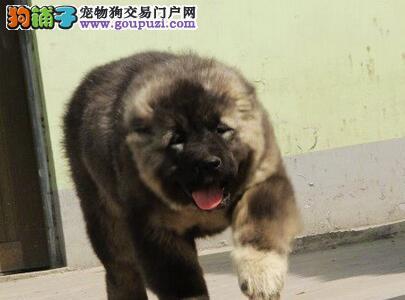 大型狗场直销价格出售优秀成都高加索犬 可享受优惠