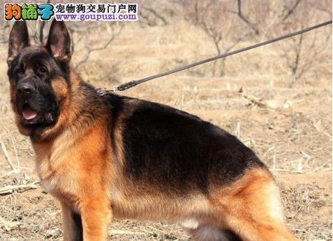 高品质德国牧羊犬幼犬、金牌店铺信誉第一、寻找它的主人