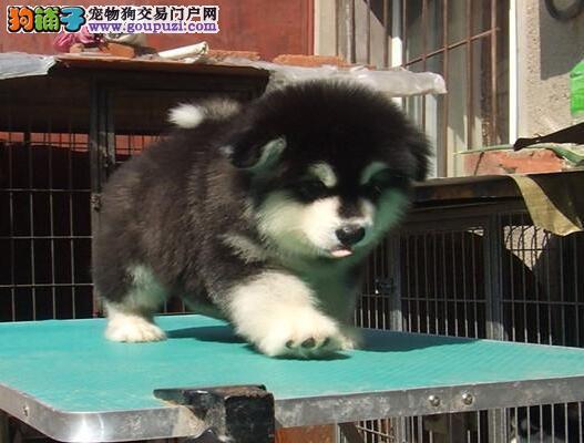 极品优秀双十字贵阳阿拉斯加雪橇犬 可办理血统证书