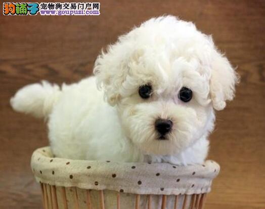 徐汇正规犬舍繁殖出售比熊犬 卷毛棉花糖版极品品相