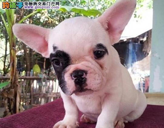 CKU犬舍认证沈阳出售纯种法国斗牛犬价格美丽品质优良
