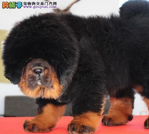 纯种狮王血系武汉藏獒直销 品种齐全颜色多样品相好
