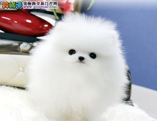 专业繁殖球形博美幼犬天使般美丽品相好