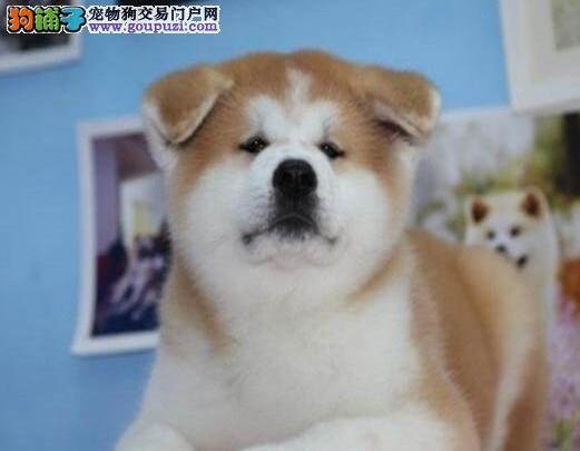 狗场直销赛级精品秋田犬泰州附近购犬有礼品