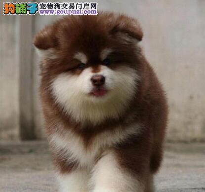 自家繁殖的杭州阿拉斯加犬找新家 24小时可随时联系我