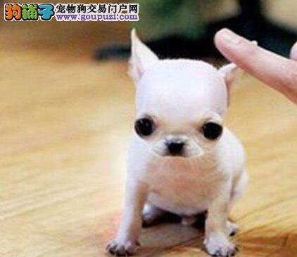 出售大眼睛好品相的兰州吉娃娃幼犬 1~3窝幼犬供选择