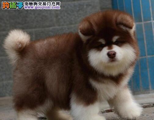 CKU认证赛级阿拉斯加幼犬健康纯种品相好质保