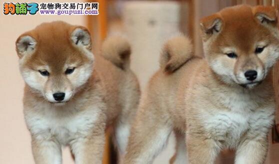 纯日系血统的秋田犬火爆开售啦 兰州市内提供免费送货