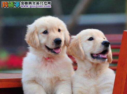 金黄色品相超级棒的厦门金毛犬找新家 喜欢可上门选购