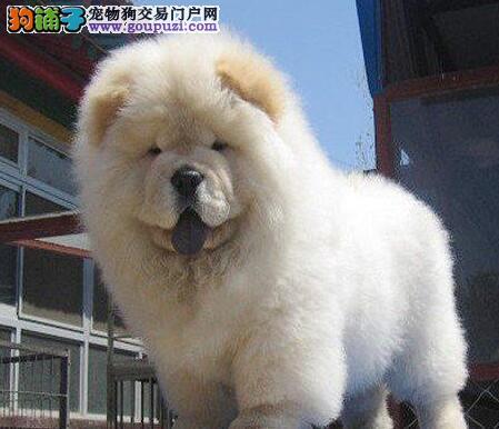开封正规狗场促销高品质松狮犬品质纯种健康可保证