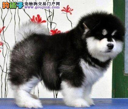 哈尔滨售巨型阿拉阿拉斯加雪橇犬大阿幼犬公母全有