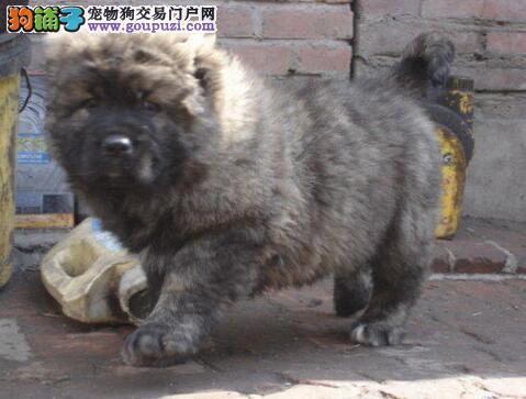 广州高加索狗场 广州高加索照片 广州宠物狗高加索