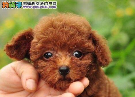 泉州自家狗场热销出售精品韩系贵宾犬 外地可办空运