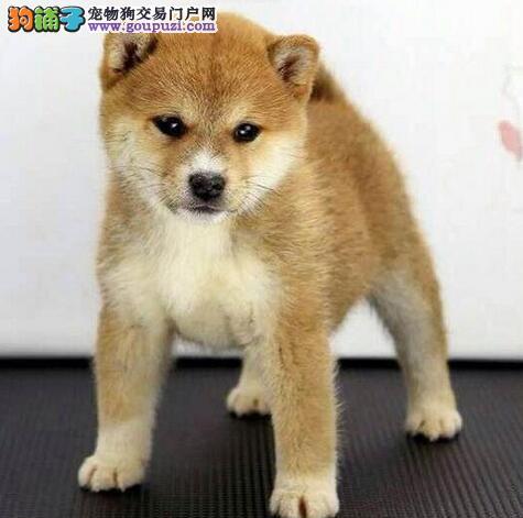 正规犬舍热销日系拉萨秋田犬 可办理血统证书保证纯度