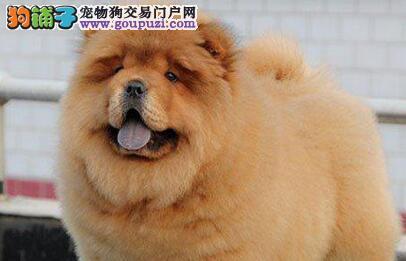 广州犬舍售肉嘴紫舌头的松狮犬 喜欢的朋友不要错过啦