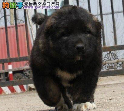 出售顶级头版骨量毛量足熊版的呼和浩特高加索幼犬