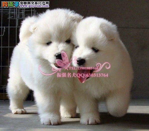 CKU犬舍出售纯种奥版萨摩耶幼犬 健康保障