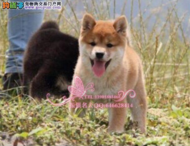 专业柴犬养殖 品质健康保障 终身包纯种