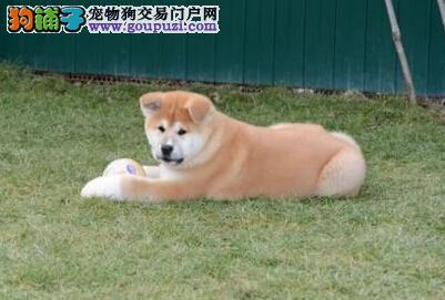 纯种日系秋田犬 专业培养 健康品质