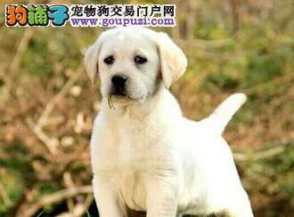 武汉自家狗场热销优秀拉布拉多犬 可接受预定