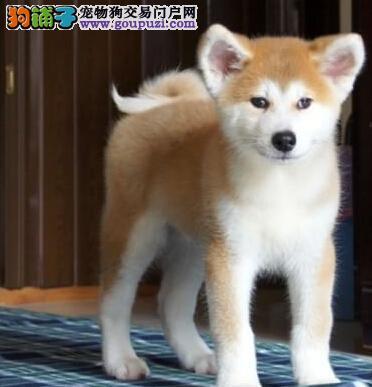 日系血统完美品相的秋田犬热销中 仅限温州的朋友选择