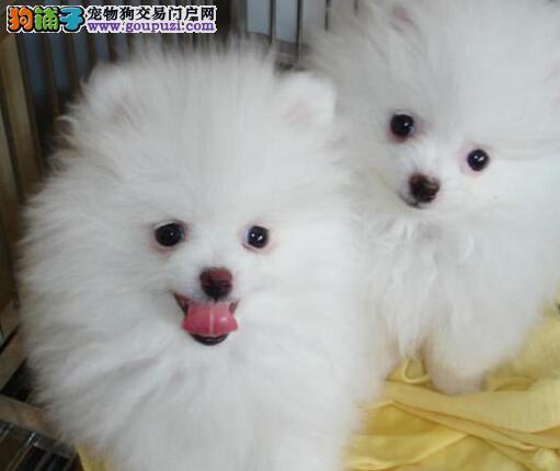 阜阳知名犬舍出售多只赛级博美犬保证冠军级血统