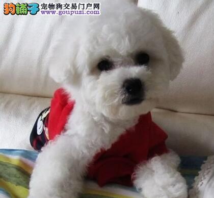 极品卷毛比熊犬北京专业狗场出售 可代办空运